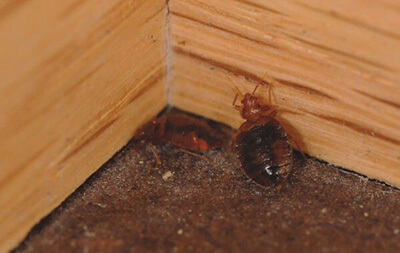 Bed Bug in Corner