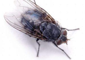 Blue Bottle Fly