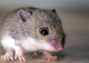 Rodents in mice