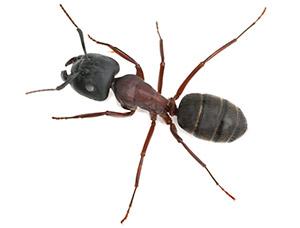 Big Gead Ant