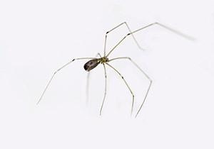 Celler Spider